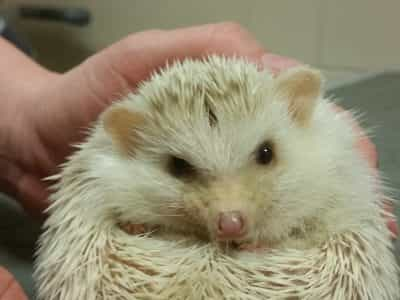 hedgehog treatment