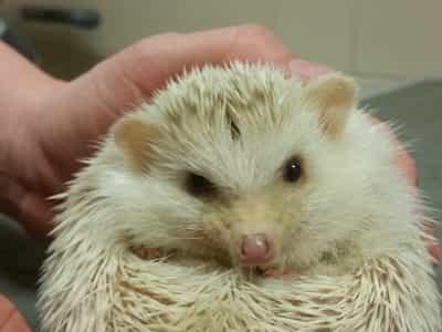 hedgehog treatment